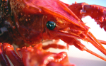 Astaxanthin gives lobsters their color ~ In humans it prevents sunburn