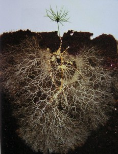 "Photo by David Read of a small pine tree grown in a glass box revealing the level of white, finely branched mycorrhizal threads or ""mycelium"" that attach to roots and feed the plant. (David Read)"