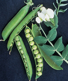 Peas and other legumes are Nitrogen Fixing