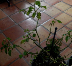 2 yr old chili pepper 250 DSCN0586