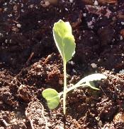 cabbage-dscn2254-175