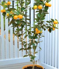 This is the type of Kumquat I ordered ~ Changshou Fukushu