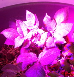 Potato Plant under red blue LED light 150 DSCN0950