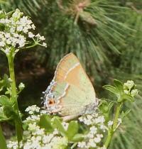 Butterfly on celery flowers 2Scale
