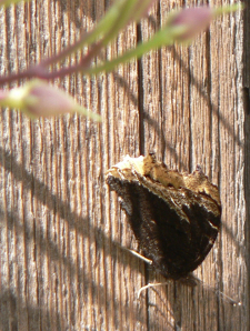 Mourning Cloak or Swallowtail Butterfly with Morning glory seed pods