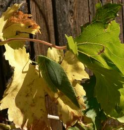 Katydid on grape leaf