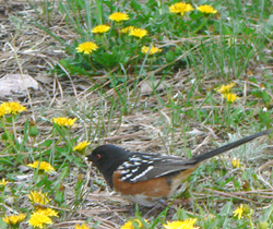 Towhee and dandelions