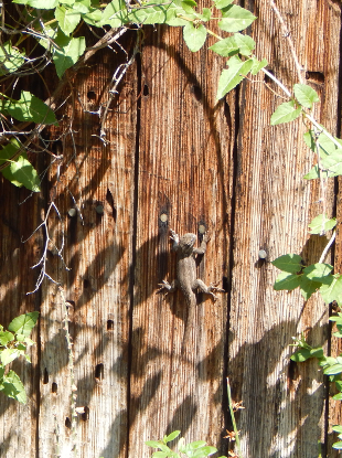 Lizard on Fence