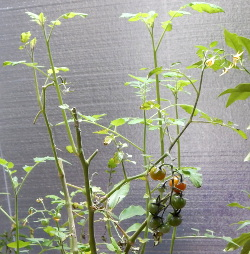 Cherry Tomato over wintering DSCN1745 250