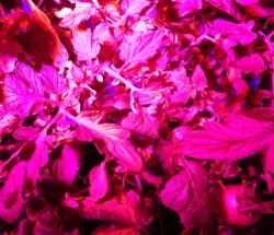 Solar Tomato under LED light DSCN0379
