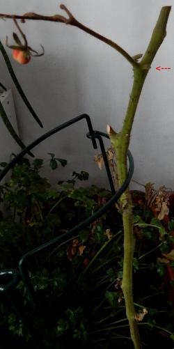 Tomato January 2015 250DSCN0595