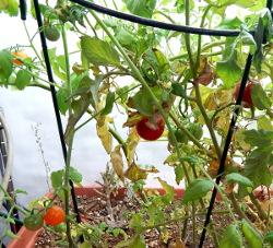 tomatoes-dscn2317-250
