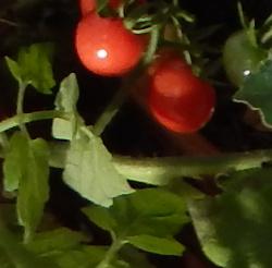 volunteer cherry tomato