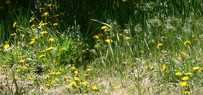 Dandelions_from_afar_larger_4_21_12 400