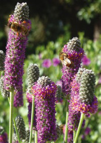 High Country Gardens Purple Prairie Clover 200