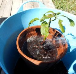 Showering soil away 250 DSCN1103