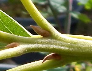Avocado creased stem 300 DSCN1482