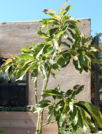 large avocado June 2016 DSCN1939 200