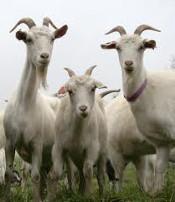 site_goat_milk175