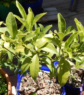 yellow-nagami-kumquat-leaves-dscn2222-175