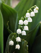 lily-of-the-valley-175