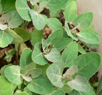 Lamb's quarters grown under dry conditions has a dusty, whitish appearance