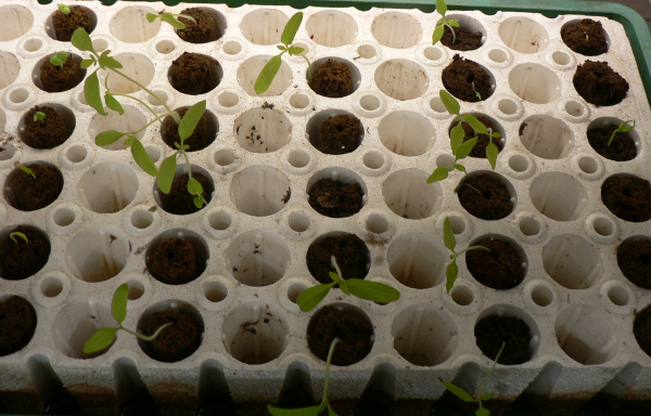 Peppers began to sprout once temperatures were above 55*