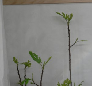 Fig flourishing in Solatube light ~ 2014