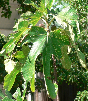 Fig leaves and Fig Fruit