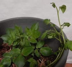 Potato Plant 250 DSCN0952