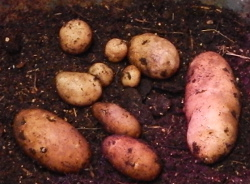 Potatoes 250 DSCN0540