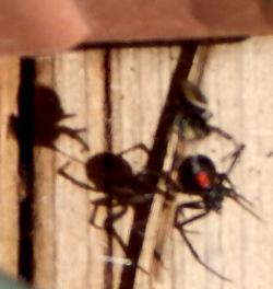 Jumping spider fells black widow 250 DSCN1419