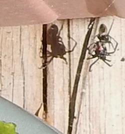 Spider kills black widow 250 DSCN1415