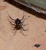 black widow frame 8 cropped