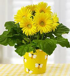 Happy Bee Gerbera Daisy