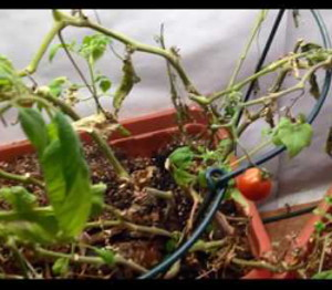 Wintering Tomatoes