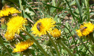 Bees_on_Dandelions 300
