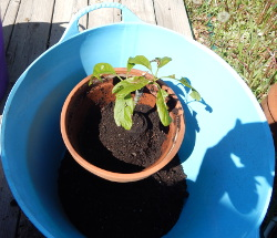 Avocado in TubTrug 250 DSCN1097