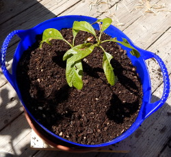 Happily Transplanted 250 DSCN1109