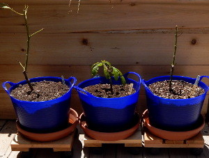 Repotted avocados 300 DSCN1112