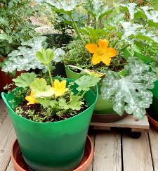 Squash plants DSCN1983 225
