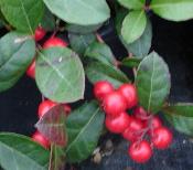 wintergreen-plant-175