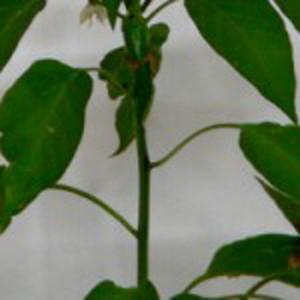 chili pepper plant with few eaves