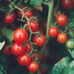 Red Currant Tomato from South America