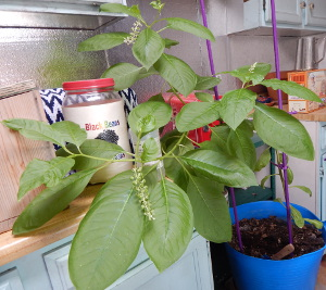 American Pokeweed growing in my kitchen