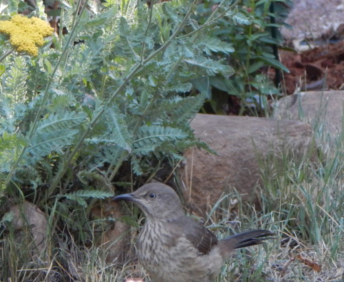 Mockingbird, Yarrow and Rocks